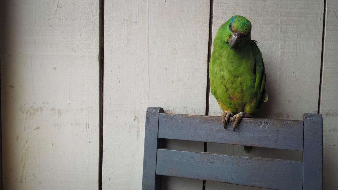 the cursing parrot – poco a poco