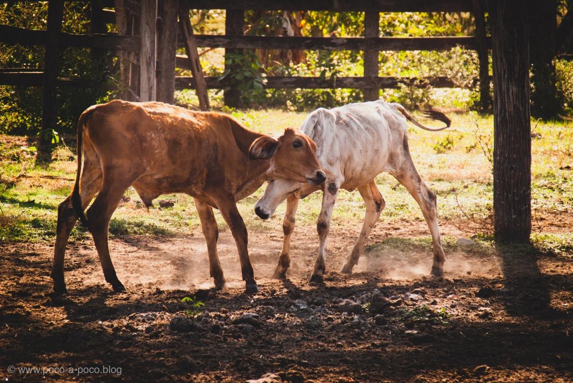 cuddly cows